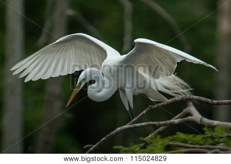 Egret with wings open