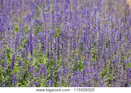 Lavender Growing In Garden