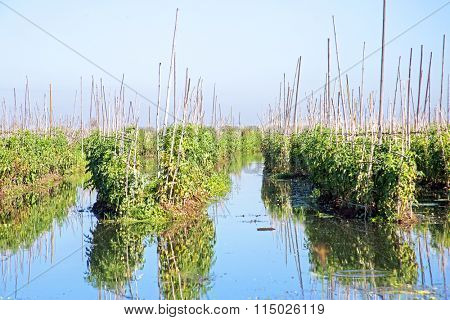 Tomato plants floating on water at Inle lake in Myanmar