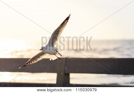 Flying Seagull With Sunlight