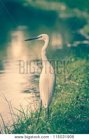 Animals In Wildlife - White Egrets.