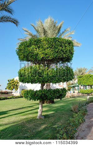 Topiary Tree In The Park