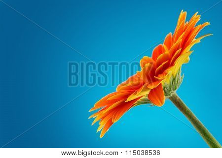 Gerbera Daisy Flower Isolated On Blue Background