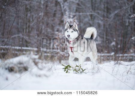 Siberian Husky Runs On Fresh Snow.