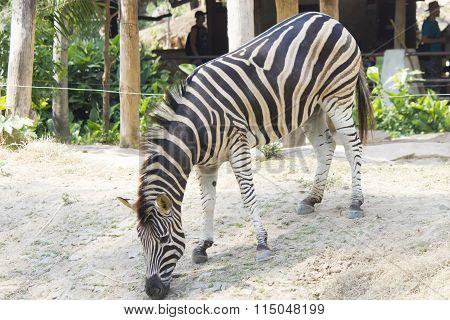 Zebras In A Zoo
