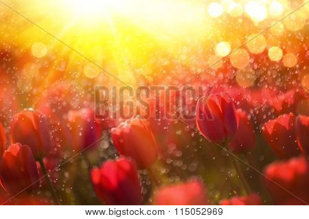 Field of red tulips in sunshine