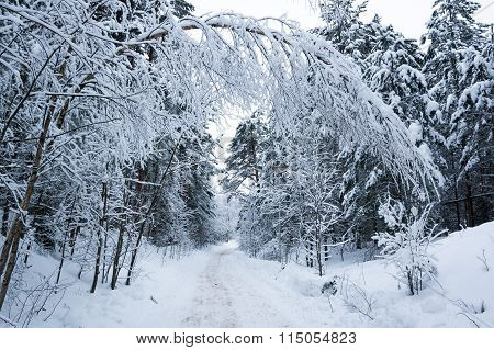Trees In A Winter Forest