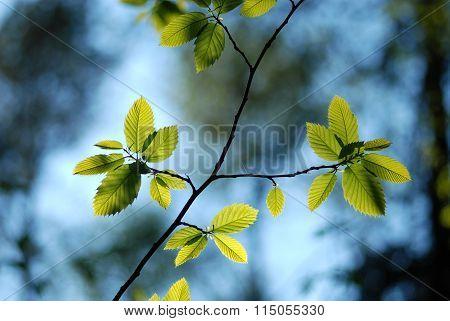 Budding Leaves of Chestnut