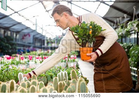 Attractive man gardener with small tangerine tree taking care of plants in greenhouse