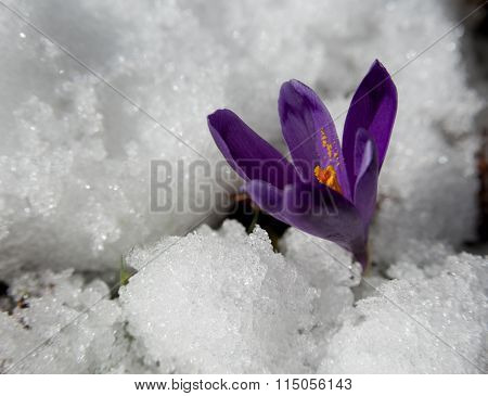 The End Of Winter - Crocus Blossom