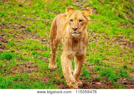Lioness Approaching