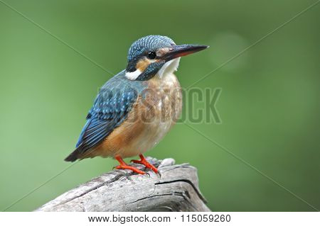 Common Kingfisher Alcedo Atthis Female Birds Of Thailand