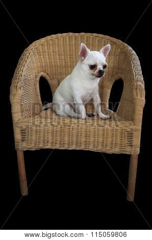 Dog chihuahua sitting on weaving rattan chair