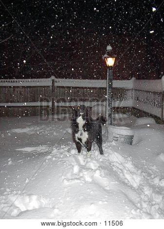 Husky In Snow