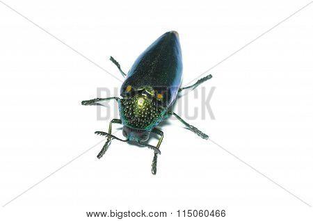 Jewel beetle, Metallic wood-boring beetle in Thailand