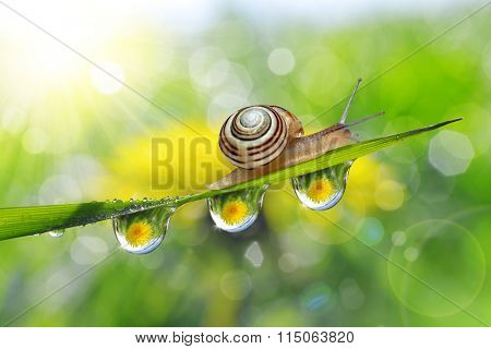 Dandelion in the drops of dew on the green grass and snail. Nature background.