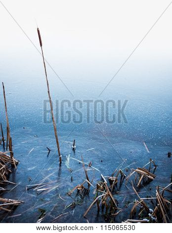 Common Bulrush in Ice