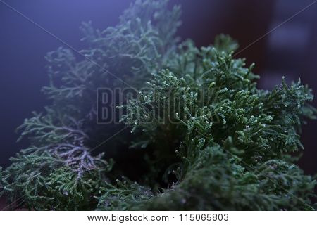 Selaginella Willdenowii In The House Decor (led Lighting).