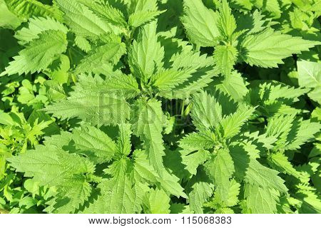 Lush Young Green Leaves Of Stinging Nettle