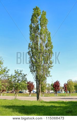 Tall Aspen In Young Green Spring Leafy Foliage