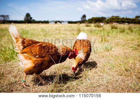 Chickens In A Field
