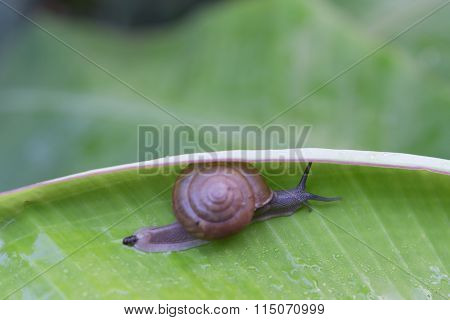 Stock Photo - Snail Creeps On Green Banana Leaf. The Actual Episode From The Life Of Molluscs.