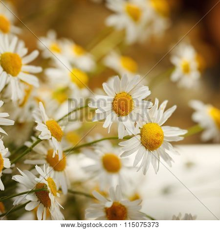 Bouquet of camomiles at sunlight. summer morning. Natural cute background.