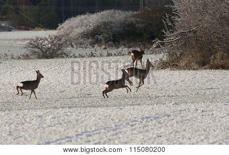 runnig deer