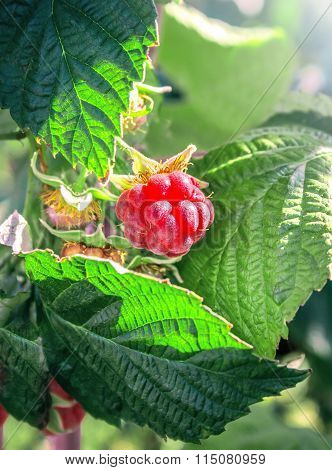 Raspberry Berrie