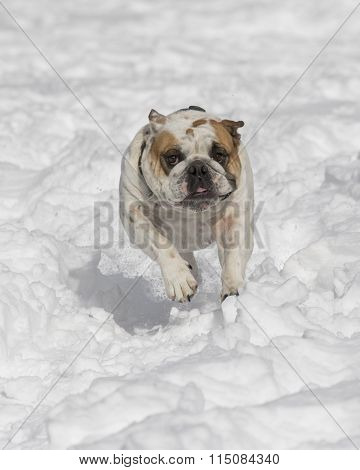 Bulldog charging through the snow