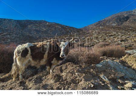 Dzo (yak Hybrid) In The Himalayas.