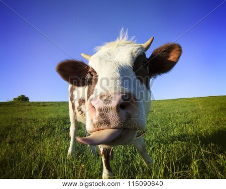 Brown  cow in the field looking at you