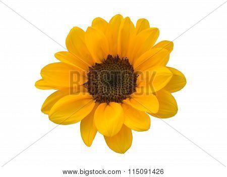 Little Sunflower On White Background