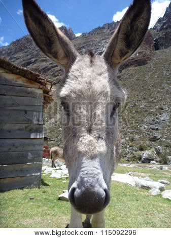 Curious Donkey In The Mountains