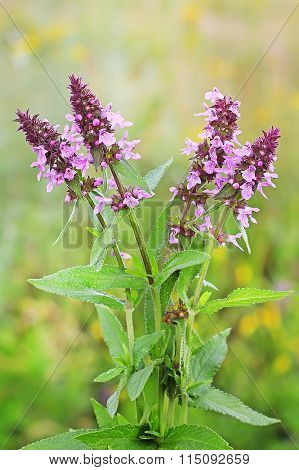 Marsh Betony (stachys Palustris)