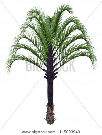 Triangle palm tree, dypsis decaryi - 3D render