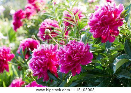 Buds Bright Pink Peonies In A Summer Garden