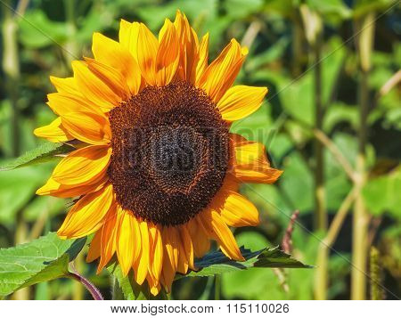Common Sunflower.
