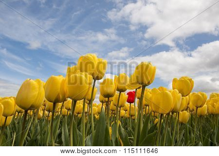 Yellow Tulips And One Red Tulip