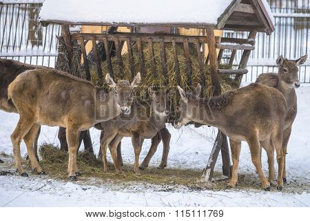 North grey deers