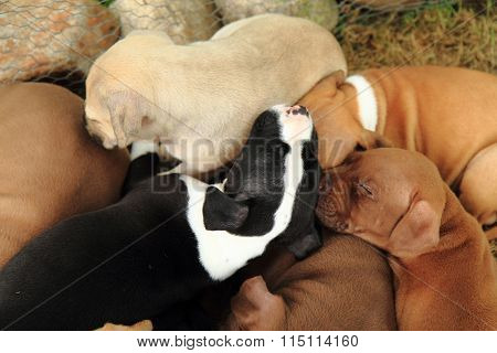 American Pit Bull Terrier Dogs