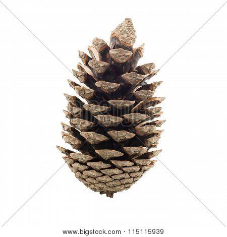 Cone coniferous tree