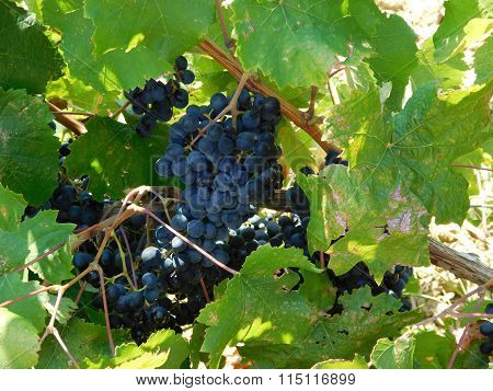 grape wine outdoors in the ground in the country