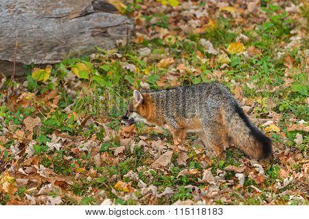 Grey Fox (urocyon Cinereoargenteus) Stalks Left