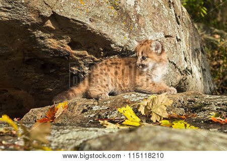 Female Cougar Kitten (puma Concolor) Lies On Rock Ledge