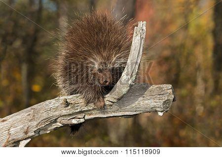 Porcupine (erethizon Dorsatum) On Branch