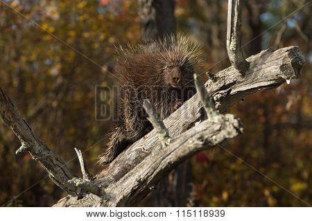 Porcupine (erethizon Dorsatum) Gazes Out From Branch