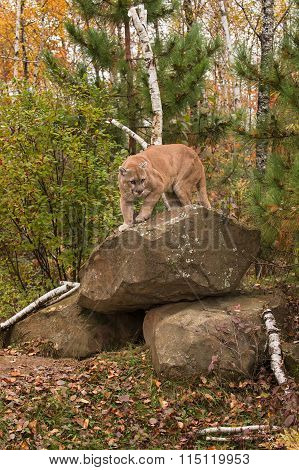 Adult Male Cougar (puma Concolor) Preps To Come Down From Rock