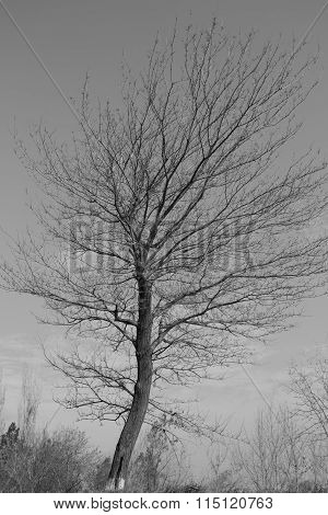 lonely dry tree on a background black-white
