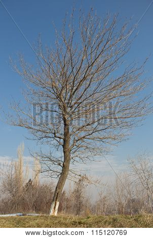 Lonely Dry Tree On The Green Grass In The Winter